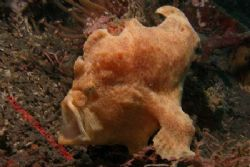 and a nother yawning frog fish by Brad Cox