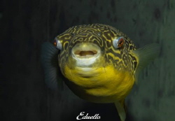 Zoetwaterkogelvis, Tetraodon mbu always smiling by Eduard Bello