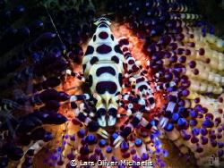 Coleman shrimps - Lembeh Strait by Lars Oliver Michaelis
