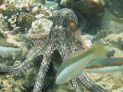 Octobus and Coris julis by Hakan Taslicay