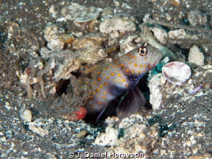 Goby on the look out by J. Daniel Horovatin