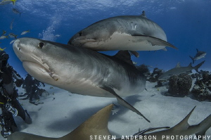 Tangled in Tigers at Tiger Beach - Bahamas by Steven Anderson