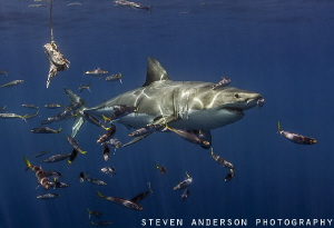 Great White Shark makes an appearance with baitfish at Gu... by Steven Anderson