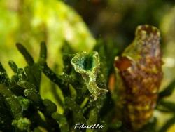 Green seaslug. Dutch groene zeewierslak, Elysia viridis. by Eduard Bello