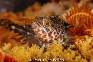 Inquisitive Klipfish by Peet J Van Eeden