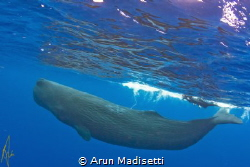 Snorkeler and Sperm Whale. taken under permit. by Arun Madisetti