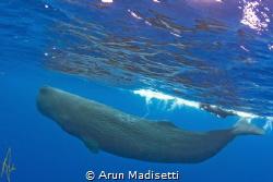 Snorkeler and Sperm Whale. taken under permit. by Arun Madisetti