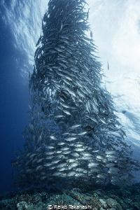 We can encounter big Jackfish school at sea of Aguni Isla... by Reiko Takahashi