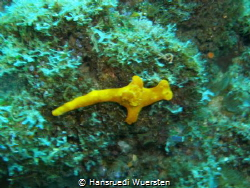 Lemon Nudibranch by Hansruedi Wuersten
