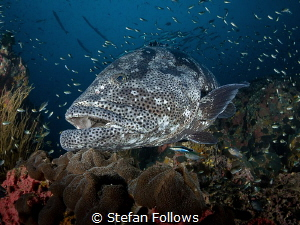 No, man, I'm Dave, man. ...  Malabar Grouper - Epinephe... by Stefan Follows