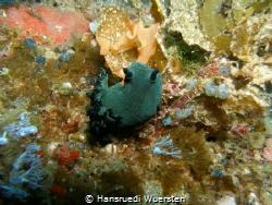 Nudibranch Nembrotha milleri by Hansruedi Wuersten