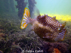 Ornate Cowfish Moonta Bay Jetty South Australia by Debra Cahill
