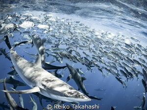 I joined in the Socorro diving cruise. One day, a lot of ... by Reiko Takahashi