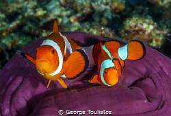 Nemoes on velvet!!! by George Touliatos