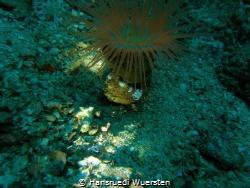 Squat Shrimp (Anemone Shrimp) - Thor amboinensis on  Tube... by Hansruedi Wuersten