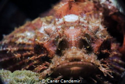 Stonefish by Caner Candemir