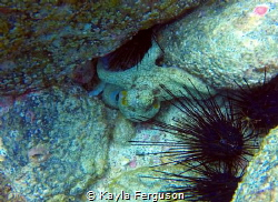 Octopus captured off the Pacific Coast of Costa Rica, sec... by Kayla Ferguson