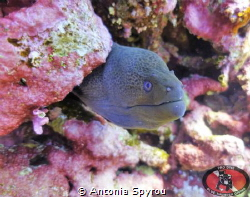 Capture this Moray Eel @ Red Sea , Small Brothers Island by Antonia Spyrou