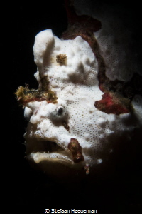Frogfish by Stefaan Haegeman