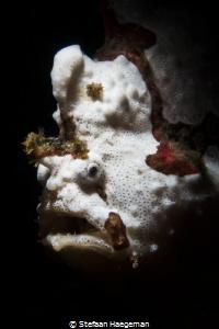 Frogfish by Stefaan Haegeman