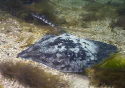 Thornback ray. Streamstown Bay, Connemara. D200,20mm. by Mark Thomas
