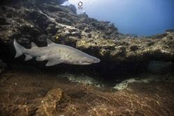 Raggietooth shark by Marco Calvani
