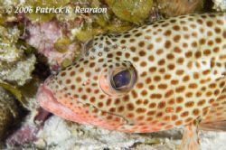 Red Hind macro. I am fascinated by the eyes of fish. I pa... by Patrick Reardon