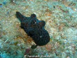 Network Lamellaria / Black Velutinid - with litte Brittle... by Hansruedi Wuersten