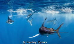 Marlins Hunting by Henley Spiers