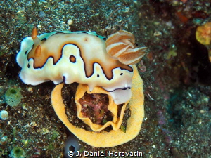 Nudibranch with eggs, chromodoris coi by J. Daniel Horovatin