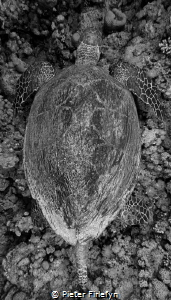 Hawksbill by Pieter Firlefyn