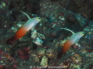 Dancing fire dartfish gobies by J. Daniel Horovatin