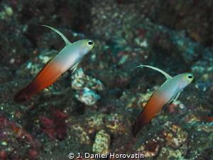 Dancing fire dartfish gobies by J. Daniel Horovatin