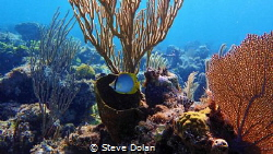 Banded Butterfly on a reef in the Bahamas. Taken with Oly... by Steve Dolan