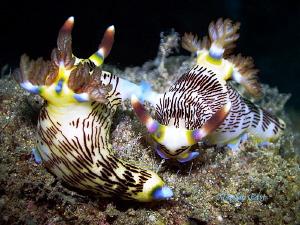 Makin love. Nembotha lineolata, mating. by Marylin Batt