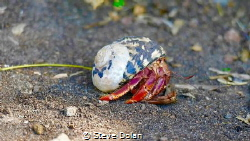 Hermit Crab making his way down a black sand beach in St.... by Steve Dolan