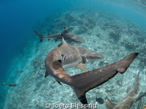 Blacktip reefsharks attracted to the jetty by the kitchen... by Joerg Blessing