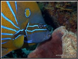 This Blue Ringed angel fish was ready to feed on the spon... by Yves Antoniazzo