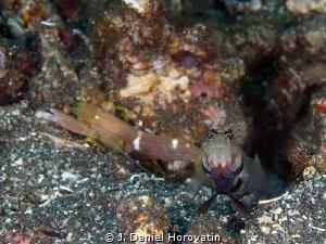 Broad banded shrimp goby with blind shrimp by J. Daniel Horovatin