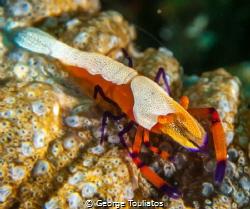 Emperor Shrimp!!! by George Touliatos