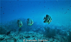 The trio of this batfishes was curious enough to come int... by Svetoslav Dimitrov