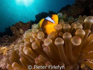 Clownfish by Pieter Firlefyn