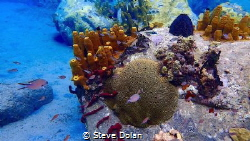 School of Brown Chromis at Anse Cochon Reef in St. Lucia.... by Steve Dolan