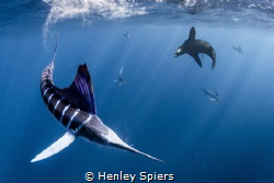 Marlin vs. Sea Lion by Henley Spiers