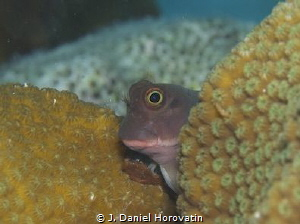 Redlip blenny peering around coral mound. by J. Daniel Horovatin