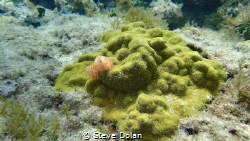 Christmas Tree Worms in the Bahamas. Taken with Olympus T... by Steve Dolan