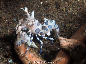 harlequin shrimp by J. Daniel Horovatin