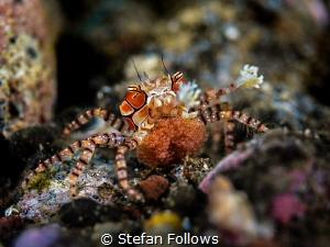 Crabby Mama  Pom Pom Crab - Lybia tessellata  Amed, B... by Stefan Follows