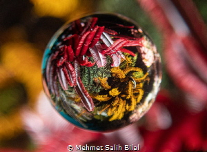 Four colors of Sea feather. 