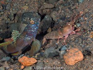 Goby with shrimp by J. Daniel Horovatin